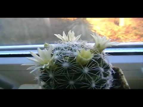Расцветающие кактусы часть вторая
