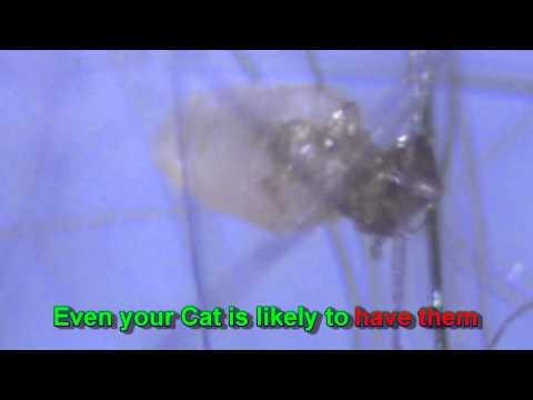 Mga kinatawan ng klase ng may pilikmata worm parasito