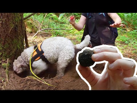 This truffle-hunting dog could make you rich!   Love Nature