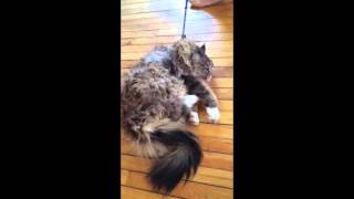 Cat Refuses To Exercise