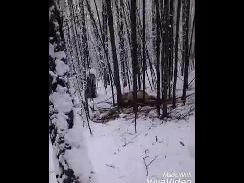 В Якутии охотник убил попавшего в капкан волка