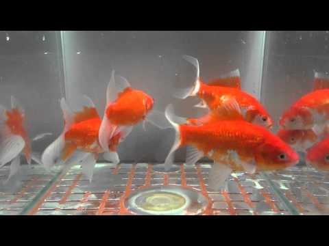 庄内金魚 9尾中5尾