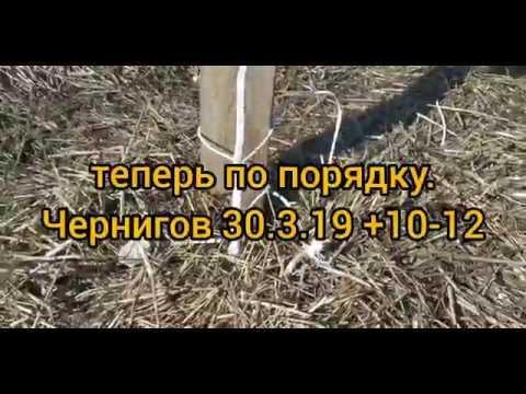 Грецкий орех Кочерженко, Идеал, Иван Багряный. Чернигов 30.3.2019