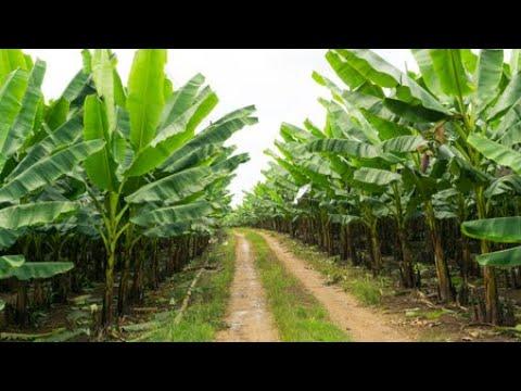 Il transforme le tronc du bananier en tissu, mèche et gagne des millions. Il transforme le tronc du bananier en tissu, mèche et gagne des millions.