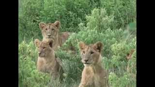 Wondering Where The Lions Are