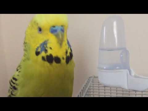 Muhabbet Kuşu Fıstık Karma Babacık aşkım cici kuş öpücük şişko kuşum aşkısım oğlum çok güzel