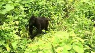 preview picture of video 'Gorilla trekking in Volcanoes National Park, Rwanda'