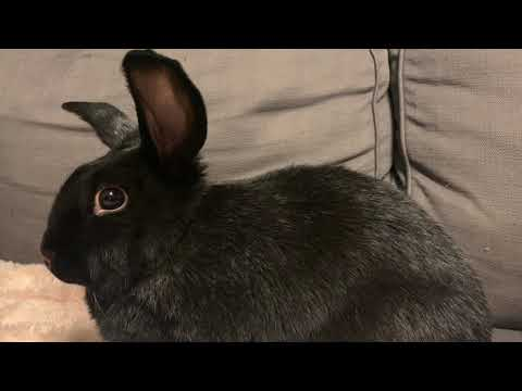 Batgirl, an adopted Bunny Rabbit in Woburn, MA_image-1