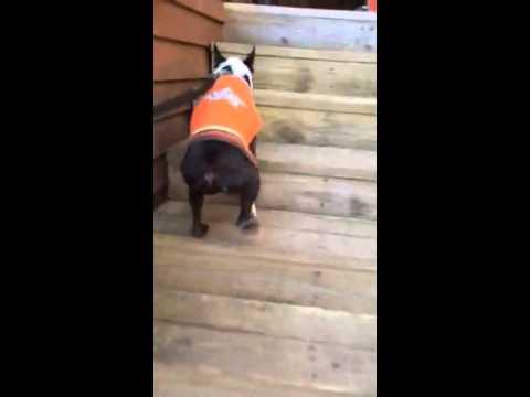 Tuxedo Joe, an adopted Boston Terrier in Charlotte, NC_image-1
