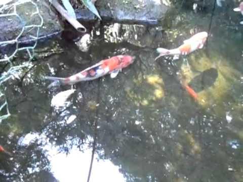 錦鯉の自然池浄化装置