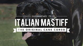 THE ORIGINAL CANE CORSO, ITALIAN MASTIFF