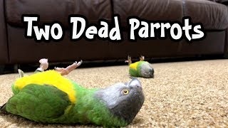 Two Parrots Playing Dead!
