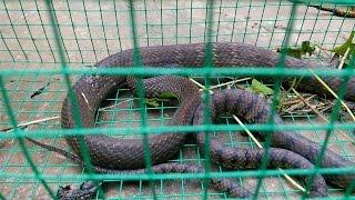 Làm bẫy bắt rắn siêu cấp vô địch hiệu quả 100% - Hành trình bẫy rắn khủng