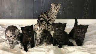 Котята шотландской вислоухой.Каждый их день от рождения до месяца(kitty Scottish fold)