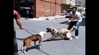 Standoff between a Pitbull & Kangal!!!