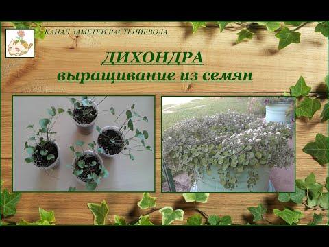 Дихондра - мой опыт выращивания из семян