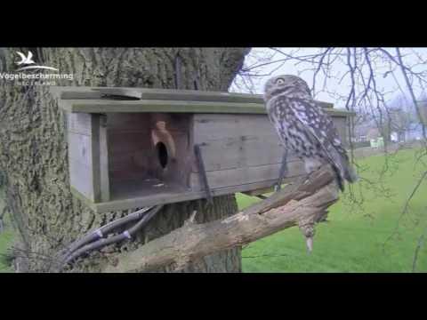 Passing Owl - 26.03.17