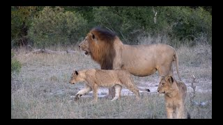New MALE LIONS with the FOURWAYS PRIDE?