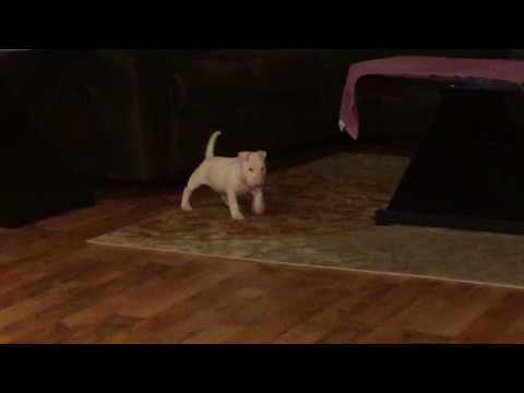 AKC Show Prospect Bull Terrier Puppy Pip