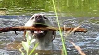 Лабрадоры, Лабрадор ретривер плавает