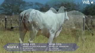 LOTE DUPLO FÊMEAS NELORE MFRA 6915, 5916