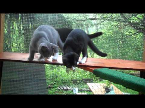 Orzo - Adopted!, an adopted Domestic Short Hair in Spencer, NY_image-1