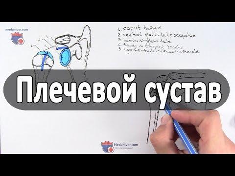 Анатомия плечевого сустава - meduniver.com