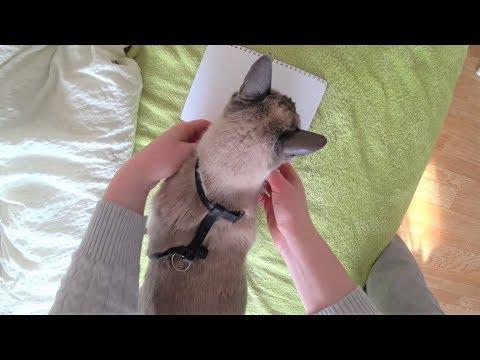 Anleitung: Wie man eine Katze trainiert ein Geschirr zu tragen (+ meine 2 Siamkatzen)