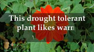 Facts Mexican Sunflower Plants