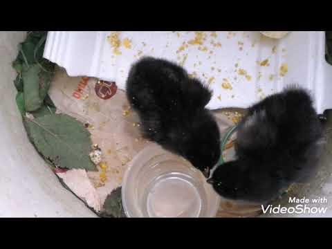 Спасенные цыплята из яиц, брошенных наседкой на 6 день. Инкубатор самоделка. Позитивчики.