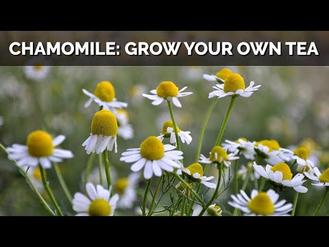 Love Chamomile Tea? Now You Can Grow the Herb Yourself