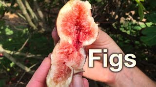 Growing Fig Trees In Australia - Planting & Pest Guide