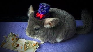 Funny Chinchilla 🐭😂 Funniest And Cutest Chinchillas Playing (Full) [Funny Pets]