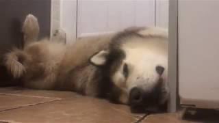 I THINK MY DOG IS BROKEN | ALASKAN MALAMUTE PHIL