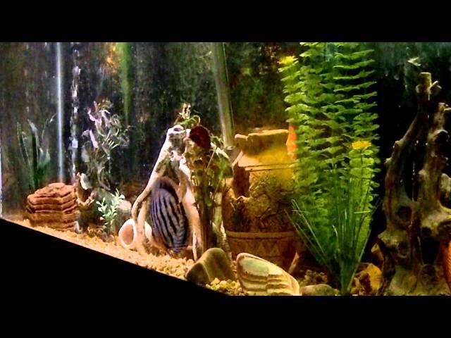 Discus & Arrowana 55 gal FishTank (update)