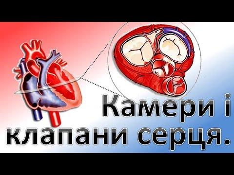 Камери і клапани серця