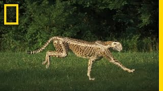 The Science of a Cheetah's Speed | National Geographic