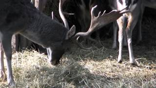 preview picture of video 'Prague : The Kunratice forest : Mini Zoo nook : The European fallow deer'