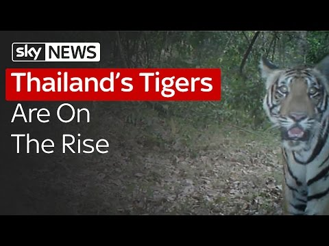 Thailand's Tigers Are On The Rise Mp3