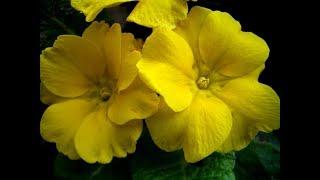 Многолетние цветы из семян для начинающих