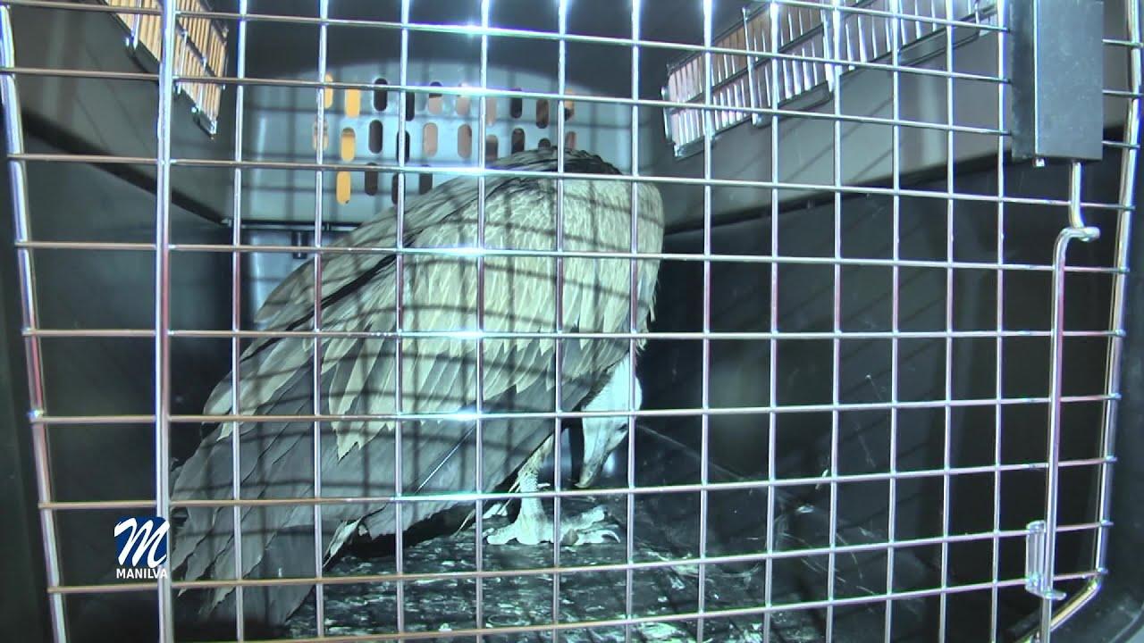 Rescatadas dos aves rapaces en Manilva