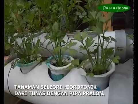 Video Cara Menanam Seledri Hidroponik Split Anak Tunas
