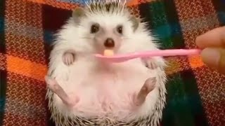 Cute Hedgehog Videos Compilation 🥰 [Funny Pets]