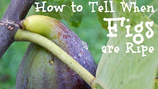 How To Tell When Figs Are Ripe