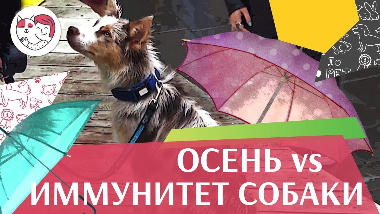 4 совета, которые помогут укрепить иммунитет собаки осенью на ilikepet