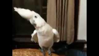 Попугай танцует под Gangnam Style