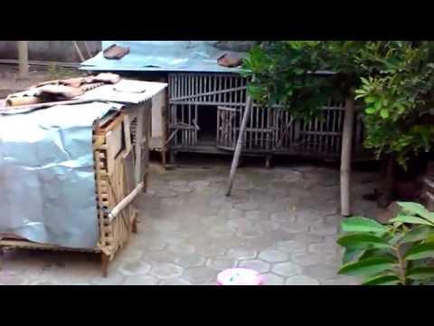 Video Tips beternak ayam yang menghasilkan untung besar