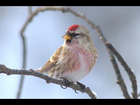 Птицы леса - Зимние учеты | Film Studio Aves