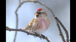 Зимние учеты. Птицы леса.