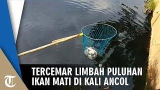 Tercemar Limbah, Puluhan Ikan Mati di Kali Ancol